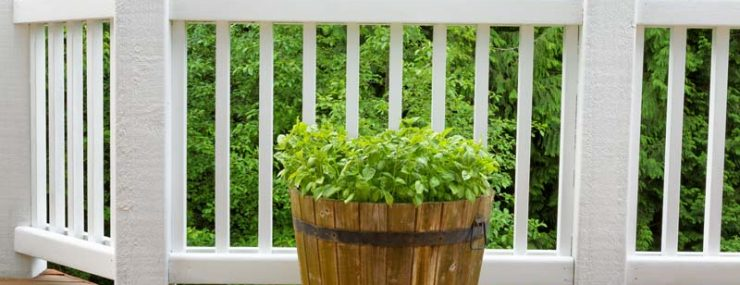 Pot of basil